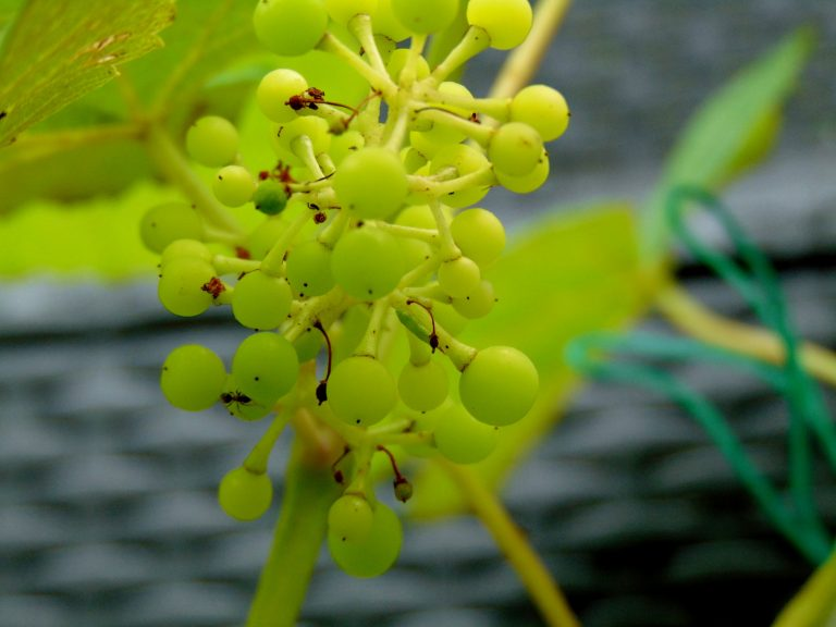Mars Seedless Grapes