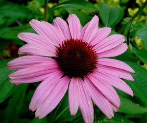 Purple Echinacea Coneflower