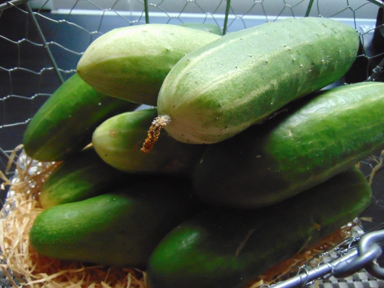 Sweet Burpless Cucumber