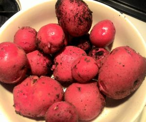 Early Red Potatoes