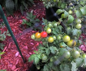 Tiny Tim Cherry Tomato
