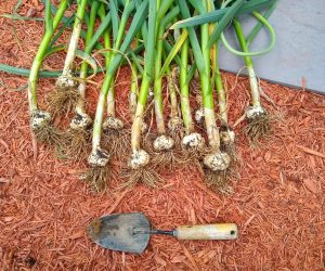 German Extra Hardy Garlic (Hardneck)