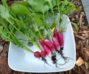 Cherry Belle & French Breakfast Radishes